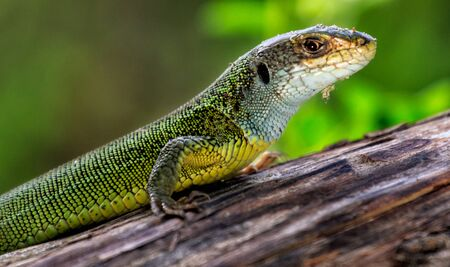 Reptile shot close-up. Green lizard, basking on tree under the sun. Male lizard in mating season on a tree,covered with moss and lichen.The sand lizard Stock Photo