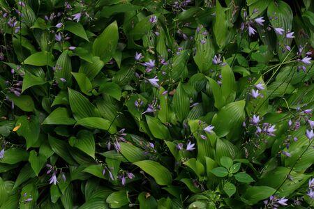 Flowers violets. Wood violets flowers close up. Top wiev