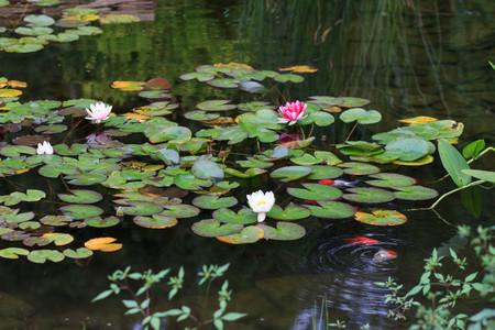 池の白とピンクの水のユリ 写真素材