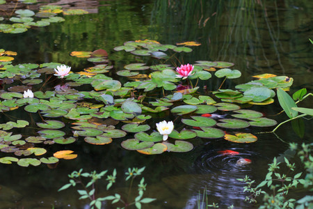 White and Pink Water Lily on a Pond