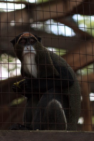 chimpanzee in the cage .