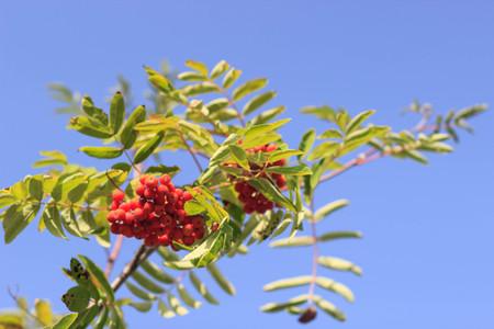 viburnum in autumn