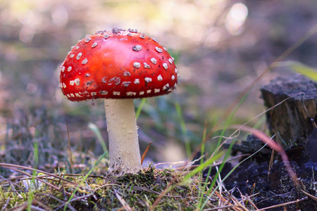 Amanita Muscaria, poisonous mushroom. Photo has been taken in the natural forest background. Фото со стока