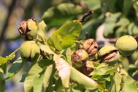 Ripe nuts of a Walnut tree Фото со стока