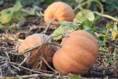 Pumpkin Field in Fall #1. Pumpkin patch with Autumn colors.