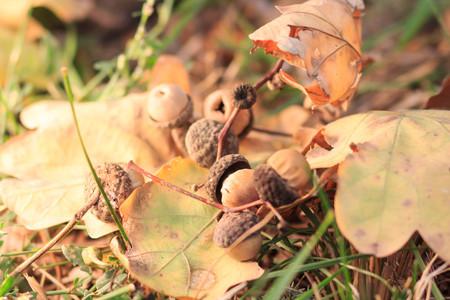 autumn leaves oak acorns Фото со стока