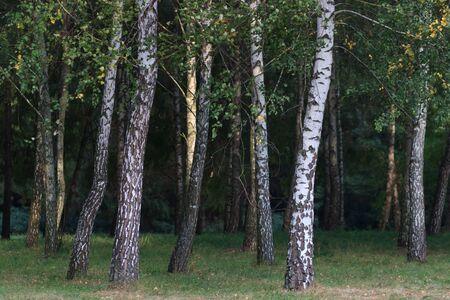 Birch forest. Birch Grove. White birch trunks