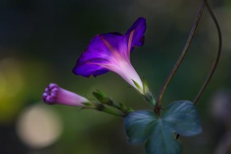blue bell flower garden summer