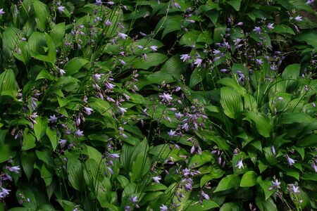 Flowers violets. Wood violets flowers close up. Top wiev Stock Photo - 87514907