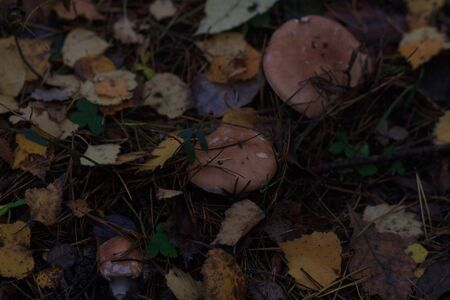 mashrooms in autumn forest, close up, blur effect