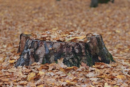 Old rotten tree stump in the autumn forest. Autumn mood. Withering and putrefaction concept Фото со стока