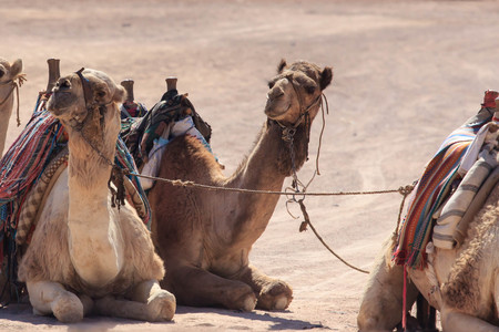 Camels in Arabia, wildlife. Bedouin ride safari Фото со стока - 94928243