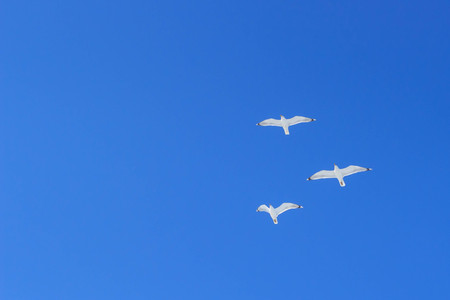 Three seagulls fly high in the blue sky