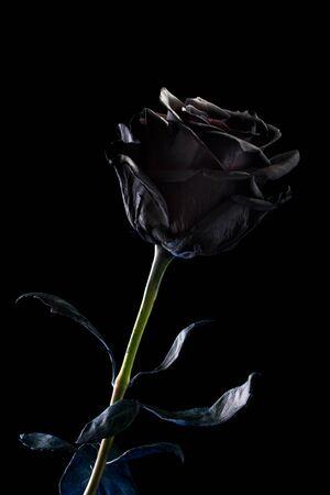 black rose on a black background .