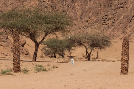 Acacia tree in desert sands.