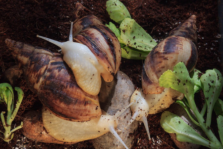 Garden snail with small snail, the big snail is taking care about the little one.