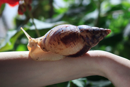 Female hand with giant Achatina snail. Health and skin rejuvenation Фото со стока