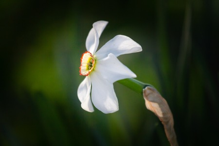 white flower narcissus in a garden, Фото со стока - 101351079