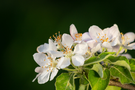 Sprig of Crab Apple Blossom, Malus sylvestris. Фото со стока - 101351123