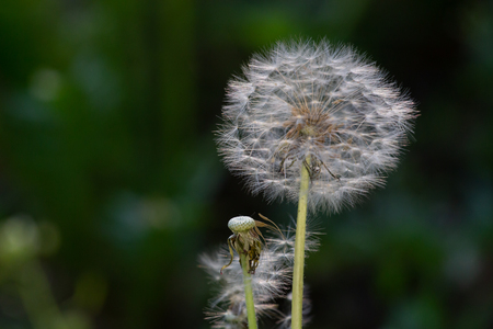 Dandelion seeds in the sunlight blowing away across a fresh green morning background. Фото со стока - 101351124