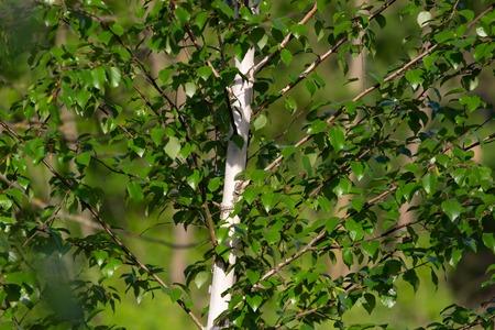 Bright birch branches in the sunlight. Фото со стока