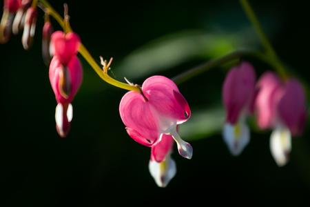 Bleeding heart flower. Фото со стока