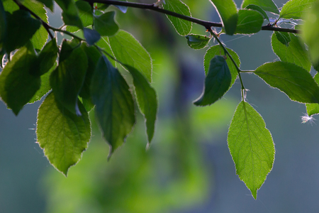 Green leaves on the spring tree background. Фото со стока - 101351082