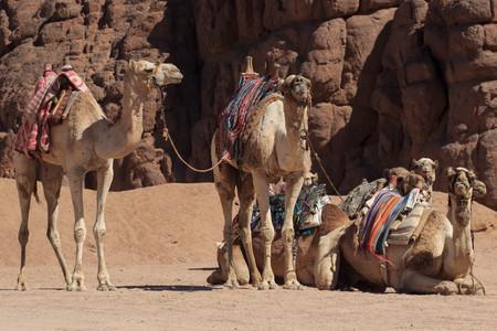 Camels in Arabia, wildlife. Bedouin ride safari Фото со стока