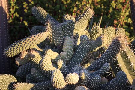 Cactus landscape. Cultivation of cacti. Cactus field. Garden of flower. Selective focus. Фото со стока