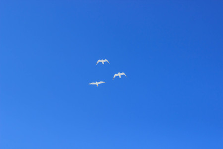 Three seagulls high in the blue sky,