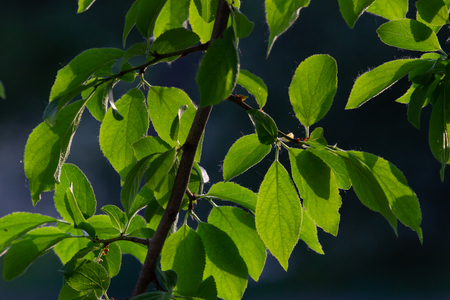 Green leaves on the spring tree background.