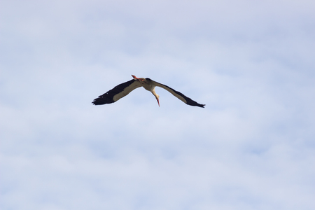 a white stork (Ciconia ciconia) flying above the nature reserve. Фото со стока