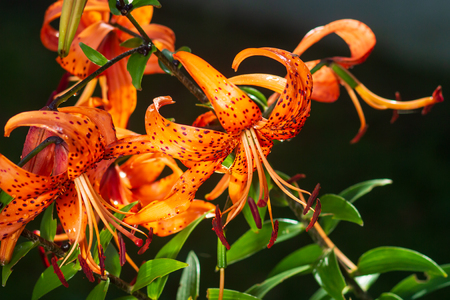 Tiger lilies in garden. Lilium lancifolium (syn. L. tigrinum) is one of several species of orange lily flower to which the common name Tiger Lily is applied. Can be used as a wallpaper or background