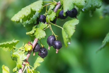 Branch of black currant in the garden. Фото со стока - 105944079