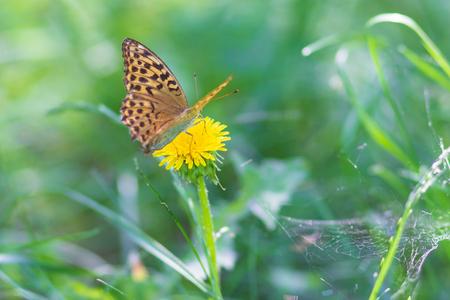 Beautiful Dark Blue Tiger butterfly eat honeydew from flower in nature, butterfly species in Ukraine Фото со стока