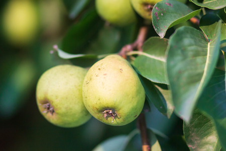 Ripe pears on a branch of a tree with green leaves.
