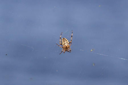 Spider garden-spider (lat. Araneus) kind araneomorph spiders of the family of Orb-web spiders (Araneidae) sits on the web.