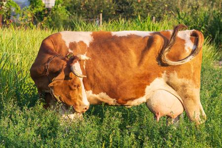 Cows grazing on pasture. Фото со стока