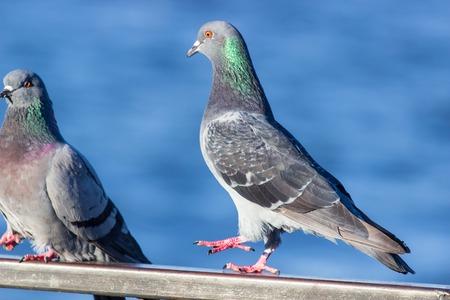 Pigeons Dancing. Dove dance Фото со стока
