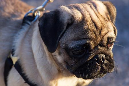 New born pug dog playing outdoors.Portrait of beautiful male Pug puppy dog. Фото со стока