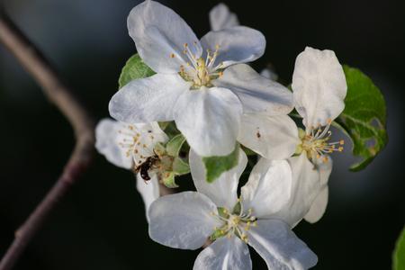 Sprig of Crab Apple Blossom, Malus sylvestris.