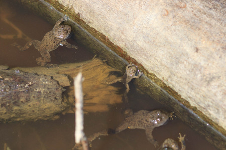Group of frogs rest in a pool,
