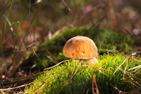 Mushrooms in forest. The fungus has many important elements like proteins, fats, carbohydrates, vitamins, mineral salts and other trace elements.