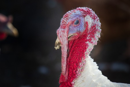 White turkey portrait close-up