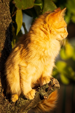 Red kitten in early autumn on big tree bark. Close up cute kitten climbing on tree in September on colorful autumn background. Portrait of ginger adorable kitten looking