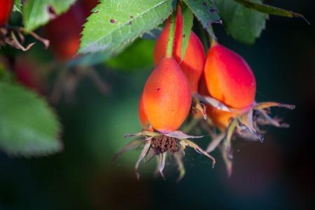 Close-up of dog-rose berries. Dog rose fruits (Rosa canina). Wild rosehips in nature. Standard-Bild - 110363556