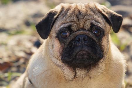 Portrait small pug dog. Close up face. Фото со стока
