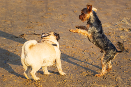pug and yorkshire terrier playing.