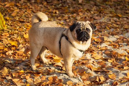 funny beautiful pug in autumn park.
