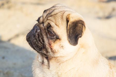 Portrait small pug dog.